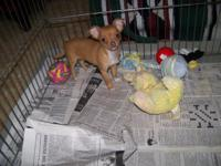 For Sale: Adorable little red chihuahua lady puppy, she