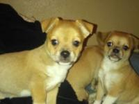 I have 2 female Chihuahua puppies 8 weeks old Pee pad