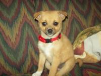 peanut is a 9 wk old female Chihuahua/fiest cross
