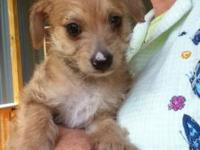 Chihuahua - Foxy - Small - Baby - Female - Dog My name