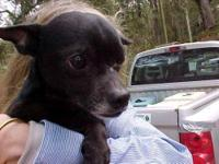 Chihuahua - Fred - Small - Adult - Male - Dog Fred is a