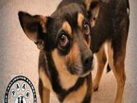 Chihuahua - Freddy (aka Smokey) - Small - Adult - Male