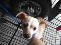 Chihuahua - Frenchie - Small - Adult - Female - Dog
