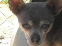 Chihuahua - Gavino - Small - Adult - Female - Dog