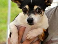 Chihuahua - George - Small - Adult - Male - Dog