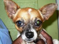 Chihuahua - Georgia - Small - Young - Female - Dog
