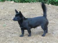 Bittie is a mix of Chihuahua German Shep and