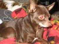 Chihuahua - Ginger (& Pepper) - Small - Adult - Female