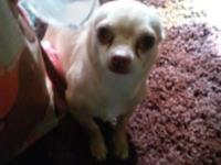 I have one girl Chihuahua puppy. Vey charming with