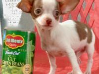 Beautiful girl toy Chihuahua! She was born in a warm