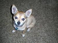 Chihuahua - Gizmo-5942 - Small - Adult - Male - Dog