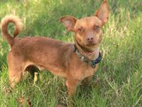 Chihuahua - Gold - Small - Young - Male - Dog Gold is a