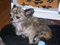 Chihuahua - Guthrie - Small - Adult - Male - Dog Update