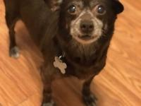 Hana is a 9 year old chihuahua who came into rescue