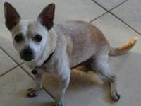 Chihuahua - Harley - Small - Adult - Male - Dog Harley