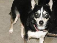 Chihuahua - Haven - Small - Adult - Female - Dog <span