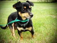 Chihuahua - Hero-local - Small - Adult - Male - Dog