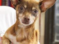 Chihuahua - Hershey (sponsored) - Small - Senior - Male