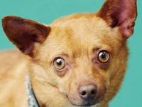 Chihuahua - Homer - Small - Young - Male - Dog Homer is