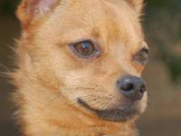 Chihuahua - Ian - Small - Young - Male - Dog 2 year old