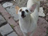 Chihuahua - Igor - Small - Adult - Male - Dog