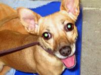 Chihuahua - *isabella* - Small - Adult - Female - Dog