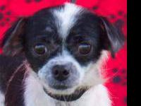 Chihuahua - Isabella - Small - Adult - Female - Dog