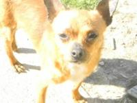 Chihuahua - Jackie Jackson - Small - Young - Male -