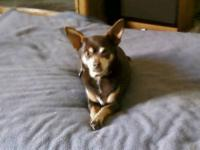 Chihuahua - Jackie - Small - Adult - Female - Dog