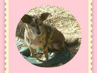 Chihuahua - Jackie - Small - Young - Female - Dog