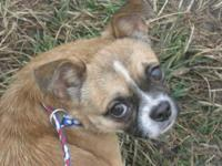 Chihuahua - Jason - Small - Adult - Male - Dog This
