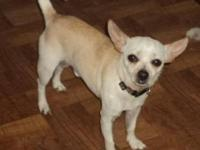 Chihuahua - Joe Joe - Small - Adult - Male - Dog Joe