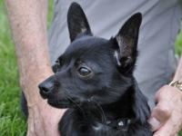 Chihuahua - Joey - Small - Adult - Male - Dog Joey is a
