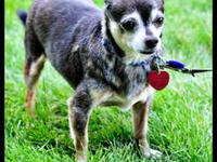 Chihuahua - Jonas - Small - Adult - Male - Dog  Can you