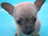 Chihuahua - Juju-bee - Small - Adult - Female - Dog