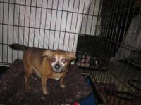 Chihuahua - K12157 Tippy - Small - Senior - Male - Dog