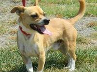 Chihuahua - Karl - Small - Adult - Male - Dog Hey guys