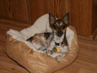 Chihuahua - Katie - Good With Other Dogs And Cats! -