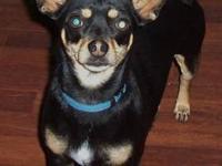Chihuahua - Khloe - Small - Adult - Female - Dog Khloe