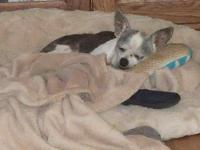 Chihuahua - Lacey - Medium - Young - Female - Dog