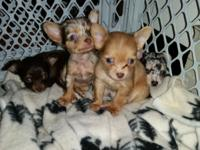 I have a lavender blonde merle chihuahua young puppy.