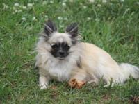 teacup chihuahua for sale in michigan