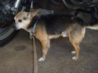 Chihuahua - Leroy - Small - Senior - Male - Dog The