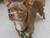 Chihuahua - Leroy - Small - Young - Male - Dog Leroy,