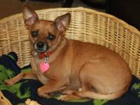 Chihuahua - Liam - Small - Adult - Male - Dog Liam is a