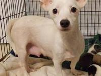 Chihuahua - Lilly - Small - Young - Female - Dog Meet