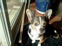 Chihuahua - Lina - Small - Adult - Female - Dog Lina is