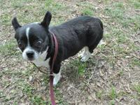 Chihuahua - Linny - Small - Adult - Female - Dog