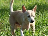 Chihuahua - Little Al - Small - Adult - Male - Dog