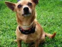 Chihuahua - Little Al - Small - Adult - Male - Dog INFO